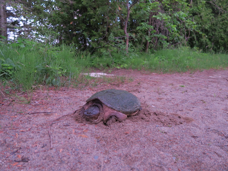 snapping turtle bruce peninsula
